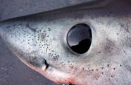The ampullae of Lorenzini are small vesicles and pores that form part of a subcutaneous sensory network of sharks. These vesicles and pores are found around the head of the shark and are visible to the naked eye. They appear as dark spots in this photograph of a porbeagle shark head. (Photo: Dr. Steven Campana, Bedford Institute of Oceanography)